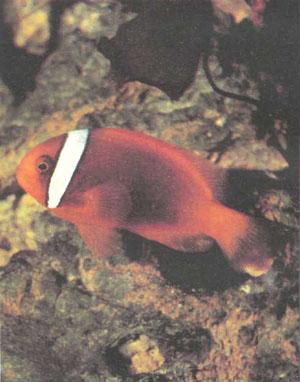 Amphiprion frenatus, которого продают, как правило, под названием «томатный клоун»