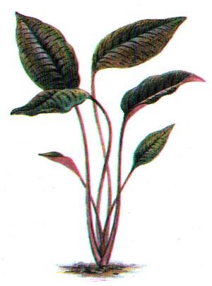 Криптокорина пурпурная