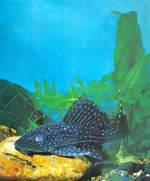 http://aquariumistika.ru/str/1013/176.jpg