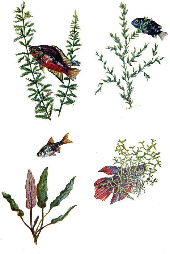 перистолистник, водяной мох, криптокорина Беккета, риччия